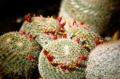 Cactus blossoms Stock Photo