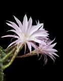 Cactus blossoms on black background Royalty Free Stock Images