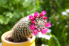 Cactus with blossoms on green background Royalty Free Stock Images