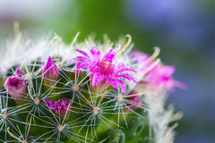 Cactus with blossoms Mammillaria. Selective focus Royalty Free Stock Photos
