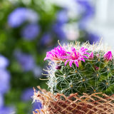 Cactus with blossoms Mammillaria. Selective focus Royalty Free Stock Photo