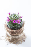 Cactus with blossoms on white background Mammillaria. Royalty Free Stock Images