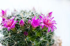 Cactus with blossoms on white background Mammillaria. Stock Photo
