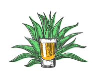 Cactus blue agave with glass tequila. Vintage vector engraving illustration for label, poster, web. Stock Image