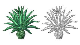 Cactus blue agave. Vintage vector engraving illustration for label, poster Royalty Free Stock Images
