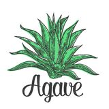 Cactus blue agave. Vintage vector engraving illustration for label, poster, web.  Stock Photo
