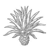 Cactus blue agave. Vintage vector engraving illustration for label, poster Royalty Free Stock Image
