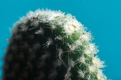 Cactus on blue with blurred background macro Royalty Free Stock Photography