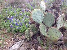 Cactus and Blue Bonnets Royalty Free Stock Images
