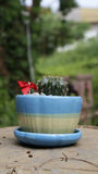 Cactus in blue ceramic pot Royalty Free Stock Photography