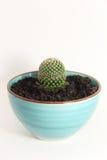 Cactus in a blue ceramic pot Stock Images