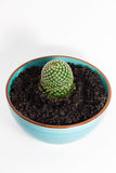 Cactus in a blue ceramic pot Royalty Free Stock Images