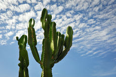 Cactus on blue sky. Peru, Nazca, South America stock image