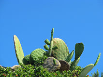 Cactus and blue sky Stock Images