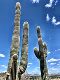 Cactus and blue sky. Tall cactus in Phoenix, Arizona hiking in the wilderness royalty free stock image