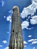 Cactus and blue sky. Tall cactus in Phoenix, Arizona hiking in the wilderness royalty free stock images