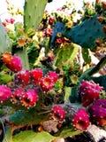 Cactus Blumen Rivieta Imperia Italia Reisen. Cactus Italia Europa royalty free stock images