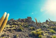 Cactus in Bolivië Royalty-vrije Stock Fotografie