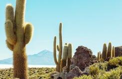 Cactus in Bolivië Stock Afbeelding