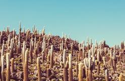 Cactus in Bolivië Stock Afbeeldingen