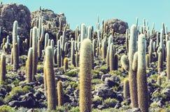 Cactus in Bolivië Royalty-vrije Stock Foto's