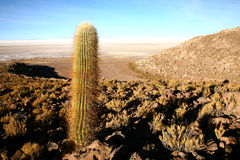 Cactus, Bolivia. Giant cactus in an arid desert area of Bolivia Stock Images