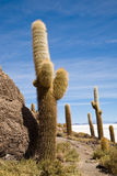 Cactus, Bolivia Stock Photos