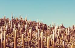 Cactus in Bolivia Stock Image