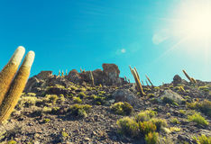 Cactus in Bolivia Royalty Free Stock Photography