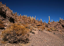 Cactus in Bolivia in the Isla Pescado Royalty Free Stock Photography
