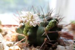Cactus bonito de Hymnocalicium con la flor rosada debajo del sol fotografía de archivo