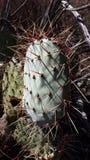 Cactus in bos Royalty-vrije Stock Foto