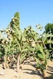 Cactus botaincal garden of Balchik Stock Photos
