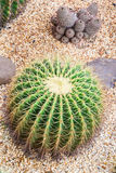 Cactus in botanic garden. Phuket, Thailand Royalty Free Stock Photo
