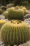 Cactus, botanical garden Stock Photography