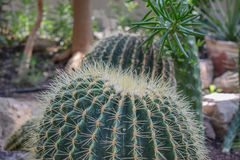 Cactus in botanical garden Royalty Free Stock Image