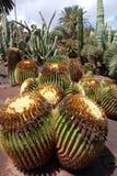 Cactus in botanical garden in Fuerteventura island Stock Photos