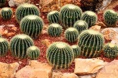 Cactus in the botanical garden. Stock Photo