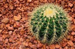 Cactus in the botanical garden. Stock Photos