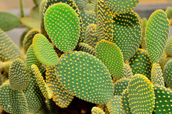Cactus in the botanical garden. Royalty Free Stock Photography