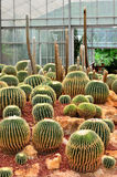 Cactus in the botanical garden. Royalty Free Stock Photo