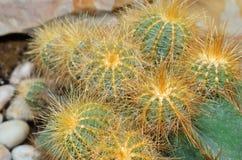 Cactus in the botanical garden. Stock Photography