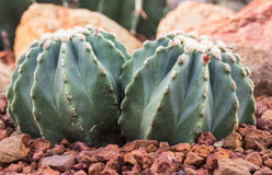 Cactus in a botanical garden. Stock Photo