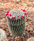 Cactus in a botanical garden. Royalty Free Stock Images