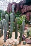Cactus botánico Fotografía de archivo libre de regalías