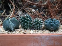 Cactus bowl Royalty Free Stock Image