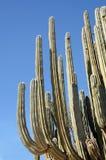 Cactus Branches, Mexico Royalty Free Stock Photos