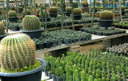 Cactus breeding Royalty Free Stock Photography