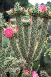 Cactus with Bright Pink Flowers Stock Image