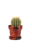 Cactus in the brown flowerpot Stock Images